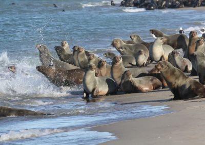 La colonie des focques hentiesbay